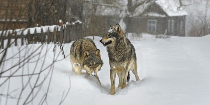 В Якутии найдена голова волка, жившего 40 тысяч лет назад ... | 350x700